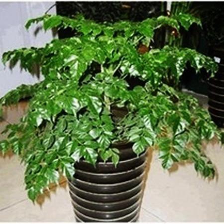 幸福树 平安树 大型植物 客厅盆栽 绿植观叶盆景 净化?#25484;? width=