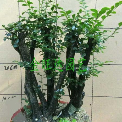 【名贵黑骨茶黑檀木盆景树桩植物盆】-无类目--520