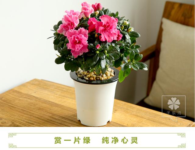 花卉盆栽 杜鹃花盆景