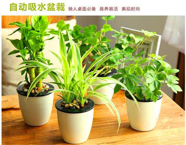 【绿野】鸭脚木 水培植物 盆栽 净化空气