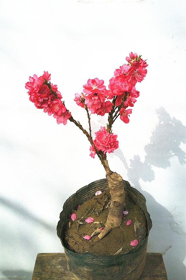 寿星桃树苗 绿植盆栽 桃树苗 红色桃花 寓意寿星 果树苗
