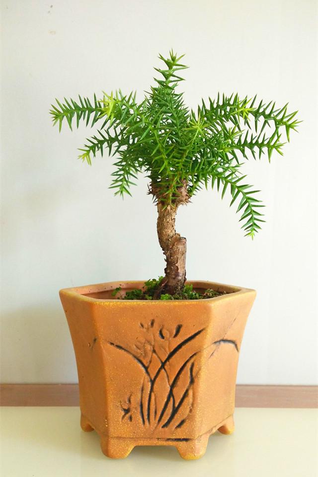 澳洲杉 室内盆栽植物 杉树常绿花卉植物造型盆景树 微型盆景