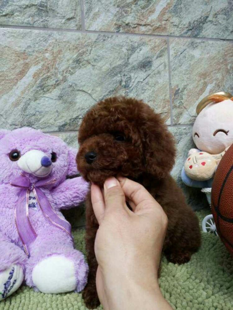 泰迪小奶狗_【小奶狗泰迪】-无类目-其他-广州活体 狗狗 宠物店-街